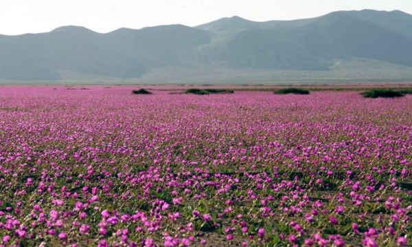 desierto Atacama_flores
