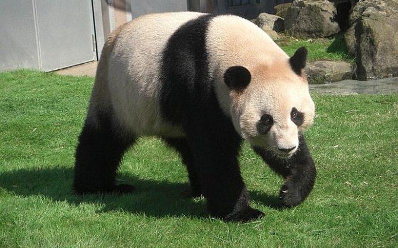 El posible embarazo de una osa panda hizo subir la bolsa de Tokio